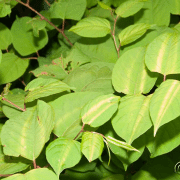 Japanese knotweed - the garden terrorist